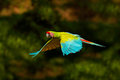 Red parrot in fly. Great Green Macaw, Ara ambigua, in tropical forest, Costa Rica, Wildlife scene from tropic nature. Blue and gre Royalty Free Stock Photo