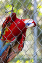 Red Parrot Gold Macaw living in captivity in Manaus zoo. Brazil Royalty Free Stock Photo