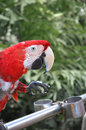 Red parrot one standing on a metal railings in xiamen of fujian in china Stock Images