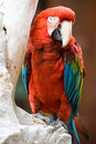 Red parrot, Peru Royalty Free Stock Images