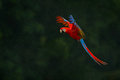 Red parrot in rain. Macaw parrot fly in dark green vegetation. Scarlet Macaw, Ara macao, in tropical forest, Costa Rica, Wildlife Royalty Free Stock Photo