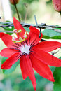 Red Passion Flower Royalty Free Stock Photo