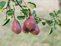 Red pears on a tree Royalty Free Stock Photo