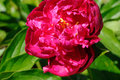 Red peony bright with water drops grows in the garden Stock Photos