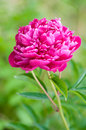 Red peony flowers Royalty Free Stock Images