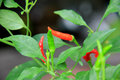 Red pepper and hot green pepper in the vegetable garden Stock Photography