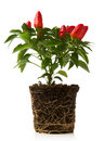 Red pepper plant Royalty Free Stock Image