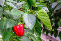 Red pepper ripening on the plant Royalty Free Stock Photo