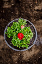 Red persian buttercup ranunculus asiaticus with flowers in a pot Stock Images