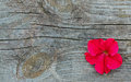 Red Petunia Flower On The Old ...