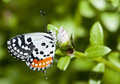 Red Pierrot butterfly Royalty Free Stock Photography