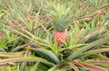 Red pineapple ananas bracteatus common name is a species of the they are grown as ornamental plants for their decorative Royalty Free Stock Image