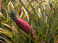 Red pineapple plant Royalty Free Stock Photo