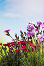 Red and pink carnations blue cloudy sky Royalty Free Stock Images