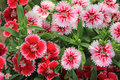 Red and Pink Dianthus Royalty Free Stock Photo