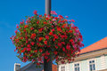 Red and pink geranium in the historic center of Kutna hora Royalty Free Stock Photo