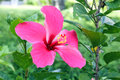 Red Pink Hibiscus flowe Royalty Free Stock Photo