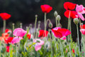 Red and pink poppy flowers Royalty Free Stock Photos