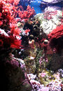 Red and pink sea plants, coral heads, anemone, polyp on stones in aquarium. Vertical view. Royalty Free Stock Photo