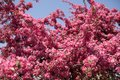Red, pink spring tree, blossoming. Cherry flowers background Royalty Free Stock Photo