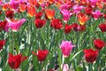 Red and Pink Tulip flowers Growing Royalty Free Stock Photo
