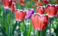Red pink tulips close up closeup flowerbed alight sunlight Royalty Free Stock Images