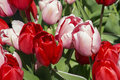 Red and pink tulips in the day Royalty Free Stock Photo