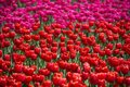 Red and pink tulips in field of tulips