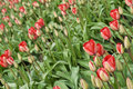 Red & Pink Tulips in Rows Royalty Free Stock Photography