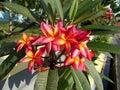 Red pink yellow plumeria or frangipani flowers Royalty Free Stock Photo