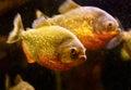 Red piranha (Serrasalmus nattereri) Stock Photography