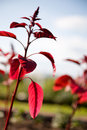 Red plant Royalty Free Stock Images