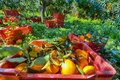Red plastic fruit boxes full of oranges by orange trees during harvest season in Sicily Royalty Free Stock Photo