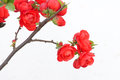 Red plum blossom the close up of Stock Photography
