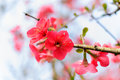 Red plum blossoms close view of Stock Photography