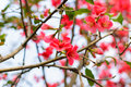 Red plum blossoms close view of Stock Images