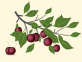 Red plum branch Royalty Free Stock Photo