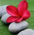 Red Plumeria Royalty Free Stock Photos