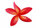 Red Plumeria Stock Photo