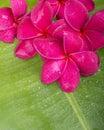 Red plumeria on banana leaf Royalty Free Stock Photos