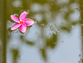 Red plumeria floating on the water pink of nature pool Royalty Free Stock Images