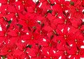 Red Poinsettia - background Royalty Free Stock Photo
