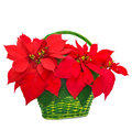 Red poinsettia in basket christmas flower on white background Stock Photo