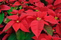 Red poinsettia flowers closeup Royalty Free Stock Photo