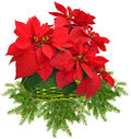 Red poinsettia in green basket and christmas tree branch on white background Royalty Free Stock Photos