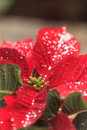 Red poinsettia holiday flower Royalty Free Stock Photo