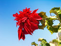 Red Poinsettia, Lalupate, Christmas Flower Royalty Free Stock Photo