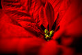 Red poinsettia leaves against black background Royalty Free Stock Photo
