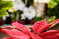 Red Poinsettia leaves Royalty Free Stock Photo
