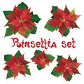 Red poinsettia vector flowers set. Christmas symbols illustration. Pulcherrima blooming plant.Traditional Christmas poinsettia
